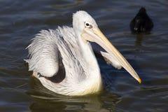 Пеликан на воде Стоковые Фотографии RF