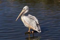 Пеликан на воде Стоковая Фотография RF