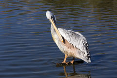 Пеликан на воде Стоковые Фото