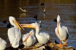 Пеликан на журнале Стоковая Фотография
