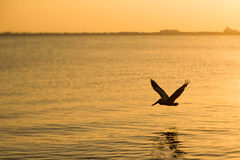 Пеликан на заходе солнца Стоковое Изображение