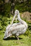 Пеликан на зоопарке Стаффордшире Blackbrook Стоковые Фото