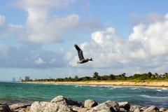 Пеликан на мухе Стоковое Изображение