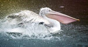 Пеликан на озере брызгая воду стоковые фото