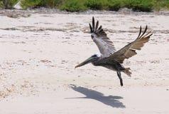 Пеликан на побережье Caraibian Стоковые Фотографии RF