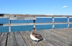 Пеликан на пристани рыбной ловли Стоковая Фотография