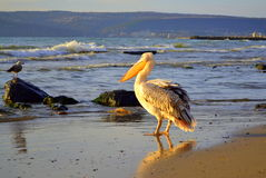 Пеликан на пляже Стоковые Изображения