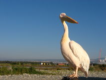 Пеликан на Средиземном море! Стоковые Фотографии RF