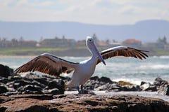 Пеликан на утесах Стоковые Изображения