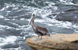 Пеликан на утесе стоковые изображения