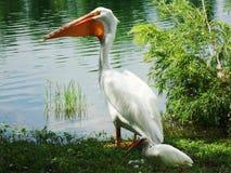 Пеликан около пруда Стоковые Изображения RF