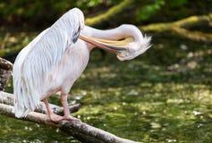 Пеликан одевая его пер Стоковое фото RF