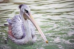 пеликан одиночный стоковое фото rf