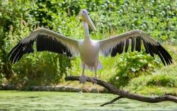 Пеликан показывает его крыла Стоковая Фотография RF