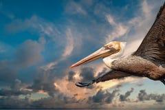 Пеликан пока летающ на заход солнца Стоковая Фотография RF