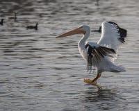 Пеликан посадки Стоковое фото RF