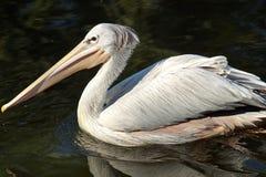 Пеликан подпертый пинком стоковые фото