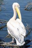 Пеликан получает ванну солнца Стоковое фото RF