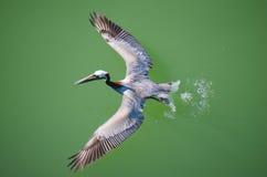 Пеликан принимая от взгляда воды надземного стоковое фото