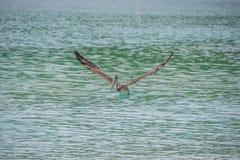 Пеликан принимая полет Стоковое Изображение