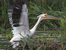 Пеликан принимая  Стоковое Изображение