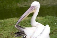 Пеликан прихорашиваясь пер Стоковое Изображение RF