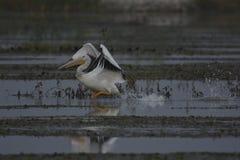 Пеликан пробуя к взлету Стоковое Изображение RF