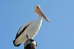 Пеликан - птицы воды Стоковые Изображения