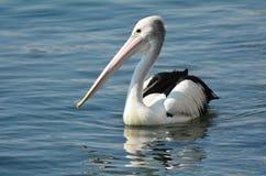 Пеликан - птицы воды Стоковое фото RF