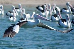 Пеликан - птицы воды Стоковое Изображение