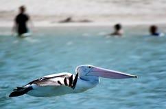 Пеликан - птицы воды Стоковые Фото
