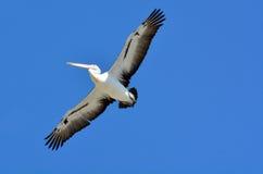 Пеликан - птицы воды Стоковые Изображения RF