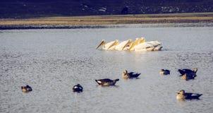 Пеликан плавая в воду Стоковые Изображения RF