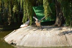 Пеликан распространил свои крыла Стоковое Фото