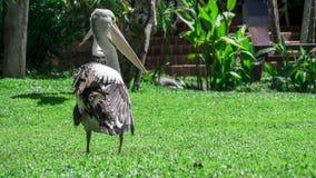 Пеликан сидя на траве Стоковая Фотография