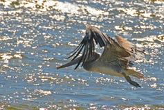 Пеликан скользя над сверкать море Стоковое Изображение RF