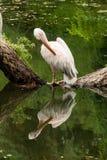 Пеликан стоит на имени пользователя середина озера Стоковые Изображения RF