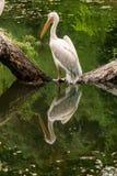 Пеликан стоит на имени пользователя середина озера Стоковое фото RF