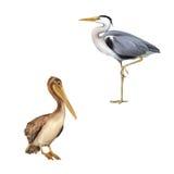 Пеликан стоя на белой предпосылке серая цапля Стоковое Фото