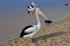 Пеликан стоя на пляже реки Стоковое Изображение