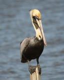 Пеликан стоя на столбе Стоковое фото RF