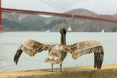Пеликан стоя с мостом золотого строба в предпосылке Стоковая Фотография RF