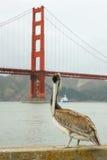 Пеликан стоя с мостом золотого строба в предпосылке Стоковые Изображения