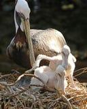 Пеликан с ее детенышами Стоковая Фотография