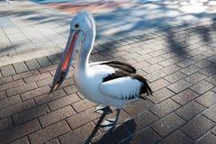 Пеликан с рыбами в своем рте Стоковые Изображения