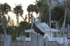 пеликан утра Марины пер california коричневого цвета клюва Барвары центральный прибрежный предыдущий садился на насест пристань s Стоковое Изображение