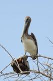 пеликан утра Марины пер california коричневого цвета клюва Барвары центральный прибрежный предыдущий садился на насест пристань s Стоковая Фотография RF