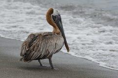 пеликан утра Марины пер california коричневого цвета клюва Барвары центральный прибрежный предыдущий садился на насест пристань s Стоковое Фото