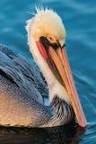 пеликан утра Марины пер california коричневого цвета клюва Барвары центральный прибрежный предыдущий садился на насест пристань s Стоковые Фото