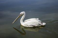 Пеликан фото на воде Стоковая Фотография
